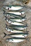 Frisch gefangene Makrelen stockfoto