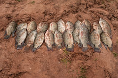 Frisch gefangene Tilapa-Fische am See Kariba Lizenzfreies Stockbild