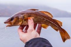 Frisch gefangener Kabeljau auf der Hand des Anglers stockfotos