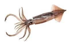 Frisch gefangener Kalmar, der ist, shinny stockbilder