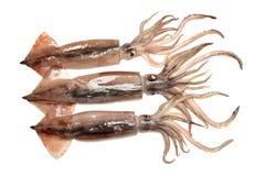 Frisch gefangener Kalmar, der ist, shinny lizenzfreies stockfoto