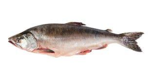 Frisch-gefrorene Fische zacken Lachse aus. Stockfotografie