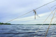 Frisch geglittene erwachsene Libelle mit Larvenhaut Lizenzfreie Stockbilder