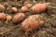 Frisch gegrabene Kartoffeln auf dem Gebiet Lizenzfreie Stockfotografie