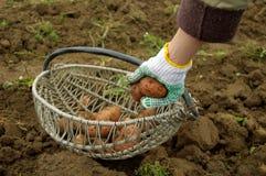 Frisch gegrabene Kartoffeln in einem Korb Stockbilder