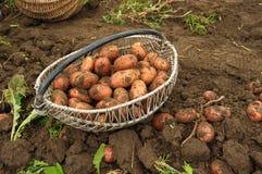 Frisch gegrabene Kartoffeln in einem Korb Lizenzfreies Stockbild