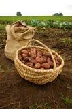 Frisch gegrabene Kartoffeln in einem Korb- und Leinwandbeutel Stockbilder