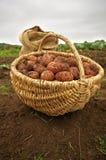 Frisch gegrabene Kartoffeln in einem Korb- und Leinwandbeutel Lizenzfreie Stockfotos