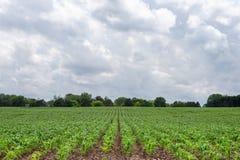 Frisch gepflanzte Mais-Reihen führen zu drastischen Himmel und kopieren Raum Lizenzfreie Stockbilder