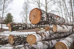 Frisch gesägte Birke meldet den Wald an Lizenzfreie Stockbilder