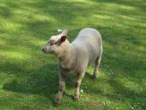 Frisch geschorene Schafe Lizenzfreies Stockbild