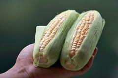 Frisch Mais an Hand Lizenzfreies Stockbild