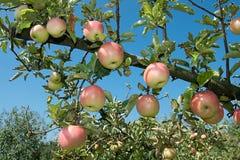 Frisch reifen Sie Äpfel auf Zweigbaum Stockfotos