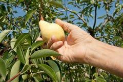 Frisch reifen Sie Äpfel auf Zweigbaum Stockbild