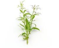 Frisch von Andrographis-paniculata Anlage auf weißem Hintergrundgebrauch f Stockfoto