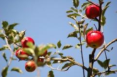 Frische Äpfel Stockfotografie