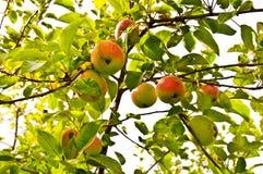Frische Äpfel auf einem Baum Lizenzfreie Stockfotos