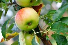 Frische Äpfel in der neuen Wiese Lizenzfreies Stockbild