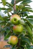 Frische Äpfel in der Wiese Lizenzfreie Stockfotografie