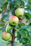 Frische Äpfel in der Wiese Stockfotos