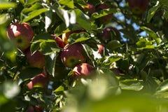 Frische Äpfel, die im Obstgarten wachsen Lizenzfreie Stockfotografie