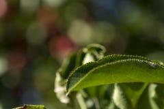 Frische Äpfel, die im Obstgarten wachsen Stockfotos