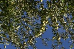 Frische Äpfel, die im Obstgarten wachsen Stockfoto
