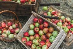 Frische Äpfel in einer Holzkiste auf dem Heu Stockbild