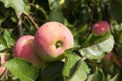 Frische Äpfel im Garten auf Baum Lizenzfreie Stockfotografie
