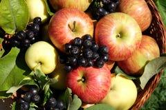 Frische Äpfel und Chokeberry Stockfotos