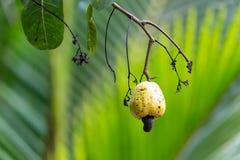 Frische Acajounüsse auf Baum Stockfoto