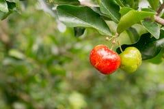 Frische Acerolafrucht auf Anlage Stockfotos