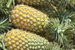 Frische Ananas ernteten gerade in Chumphon-Provinz, Thailand Lizenzfreie Stockbilder