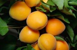 Frische Aprikosen auf einem Baum Stockfotos