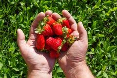 Frische ausgewählte Erdbeeren in den Händen Stockbild
