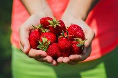 Frische ausgewählte Erdbeeren gehalten über Erdbeeranlagen lizenzfreies stockbild