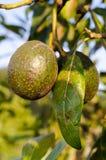 Frische Avocados, die auf Baum wachsen Stockfoto