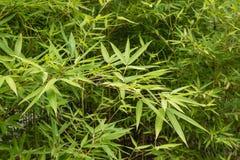 Frische Bambusblätter Stockfoto