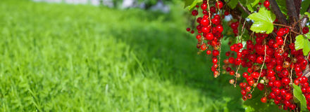 Frische Beeren der roten Johannisbeere auf Busch im Obstgarten Stockbild