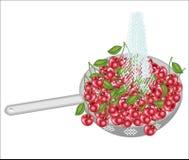 Frische Beeren in einem Sieb Reife saftige Kirschen werden unter fließendem Wasser gewaschen Gesammelte Fr?chte sollten gegessene lizenzfreie abbildung