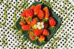 Frische Beerenerdbeeren auf einer dunkelgrünen quadratischen Platte Stockfoto