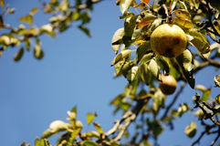 Frische Birne, die vom Baum hängt.   Lizenzfreies Stockfoto