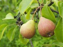 Frische Birnen auf einem Baum Stockbilder