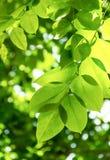 Frische Blätter Lizenzfreies Stockbild