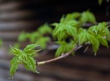 Frische Blätter auf Zweig Lizenzfreies Stockfoto