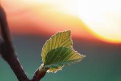 Frische Blätter des Frühlinges auf einem Baumsonnenuntergang Lizenzfreie Stockfotografie