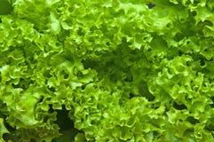 Frische Blätter des Salats Stockfoto