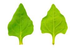 Frische Blätter des Spinats Lizenzfreies Stockfoto