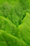 Frische Blätter des Spinats Stockfotos