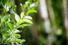 frische Blätter des vibrierenden grünen Frühlinges des Baums im Frühjahr Stockfotos
